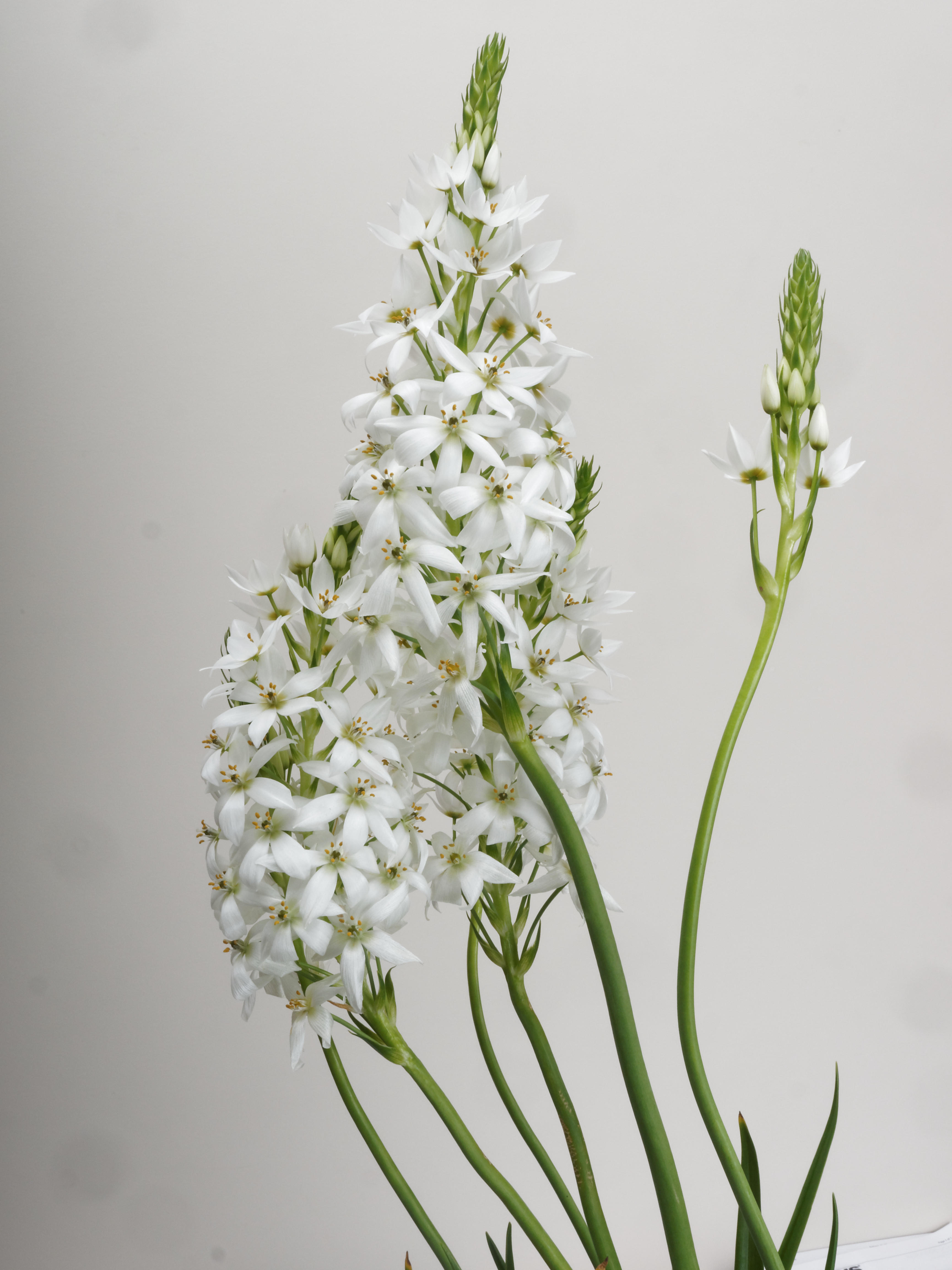 This should be Ornithogalum-2.jpeg.  Is it missing?