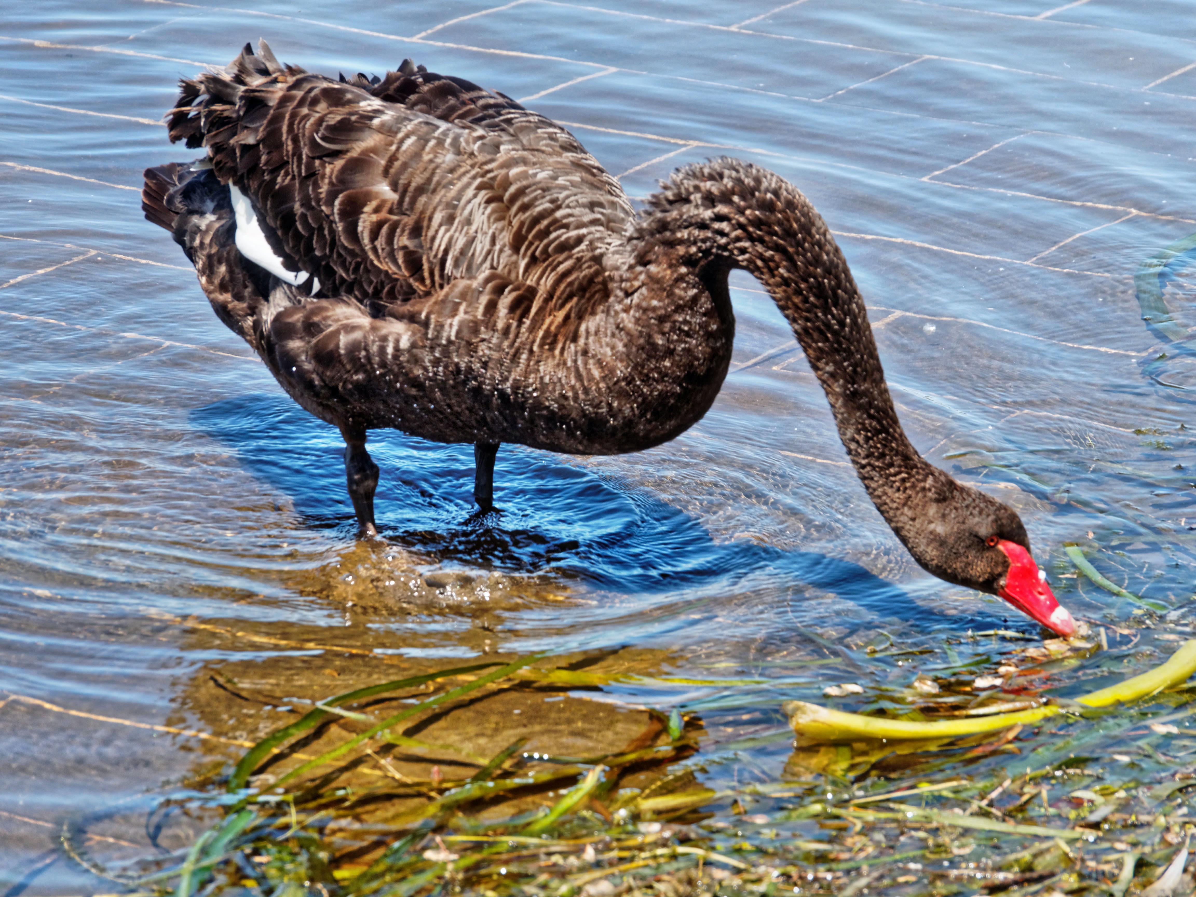 Swan-2.jpeg