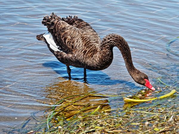 Swan-3.jpeg