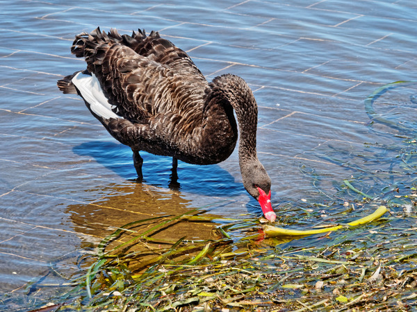 Swan-4.jpeg