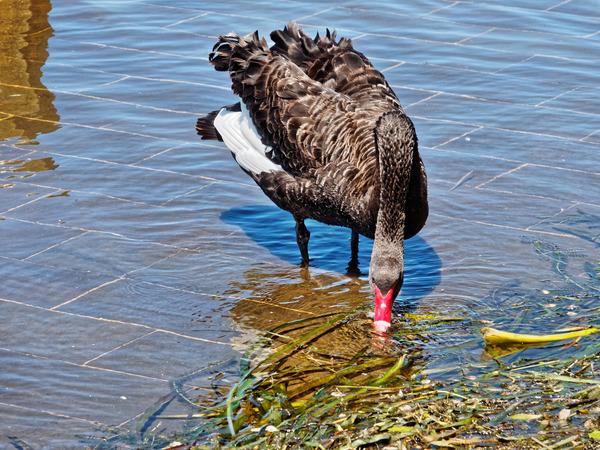 Swan-5.jpeg