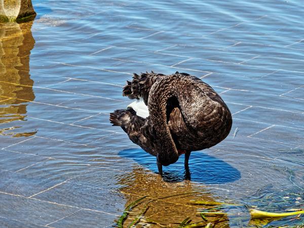 Swan-6.jpeg