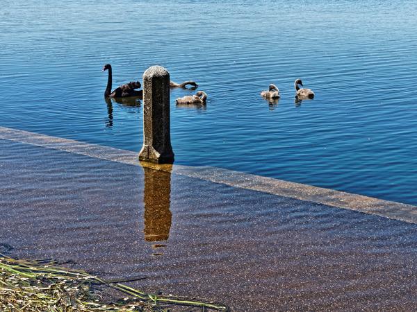 Swan-7.jpeg