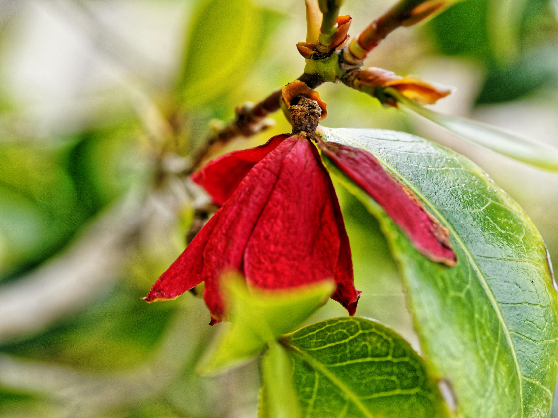 Camellia.jpeg