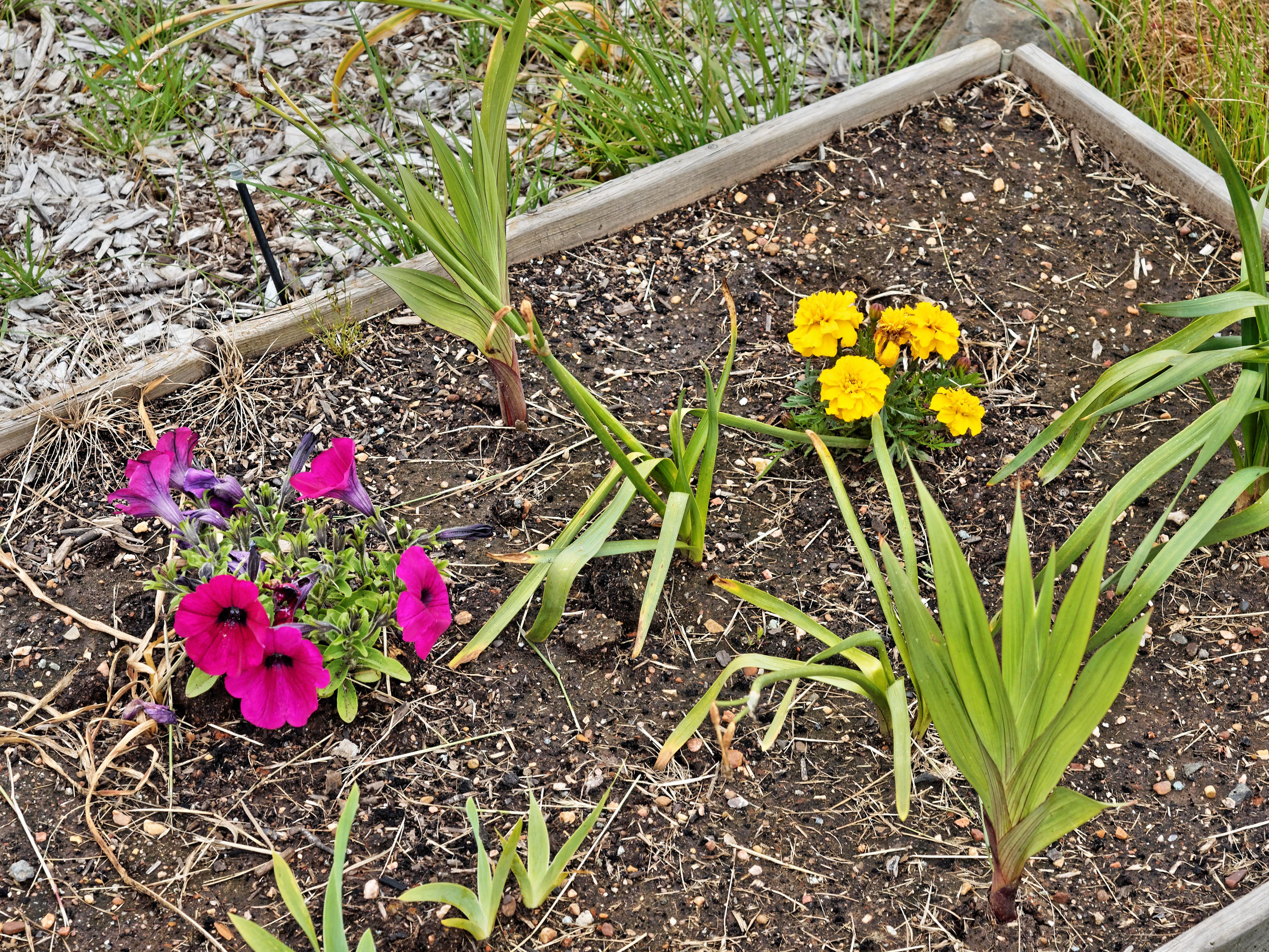 Petunia-Tagetes.jpeg