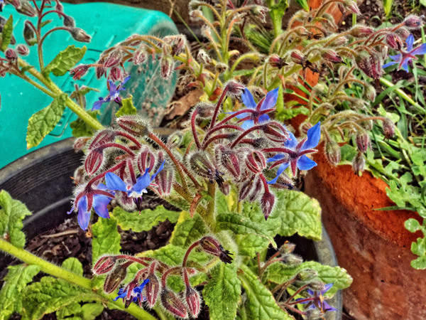 Borage-1.jpeg