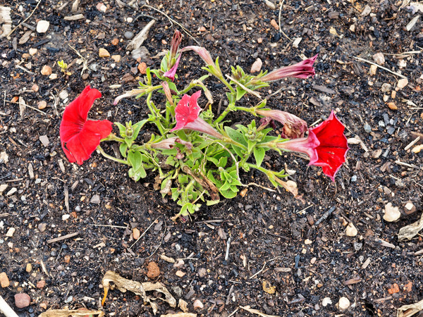 Petunia-2.jpeg