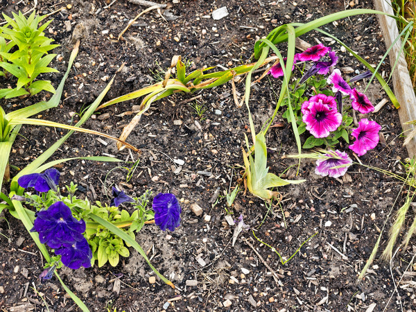 Petunia-3.jpeg