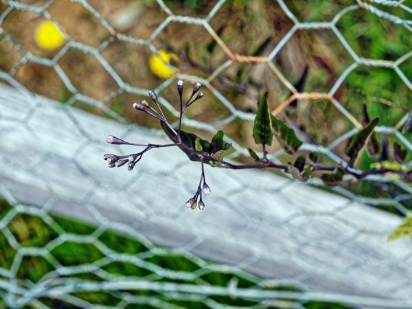 Solanum-laxum-3.jpeg