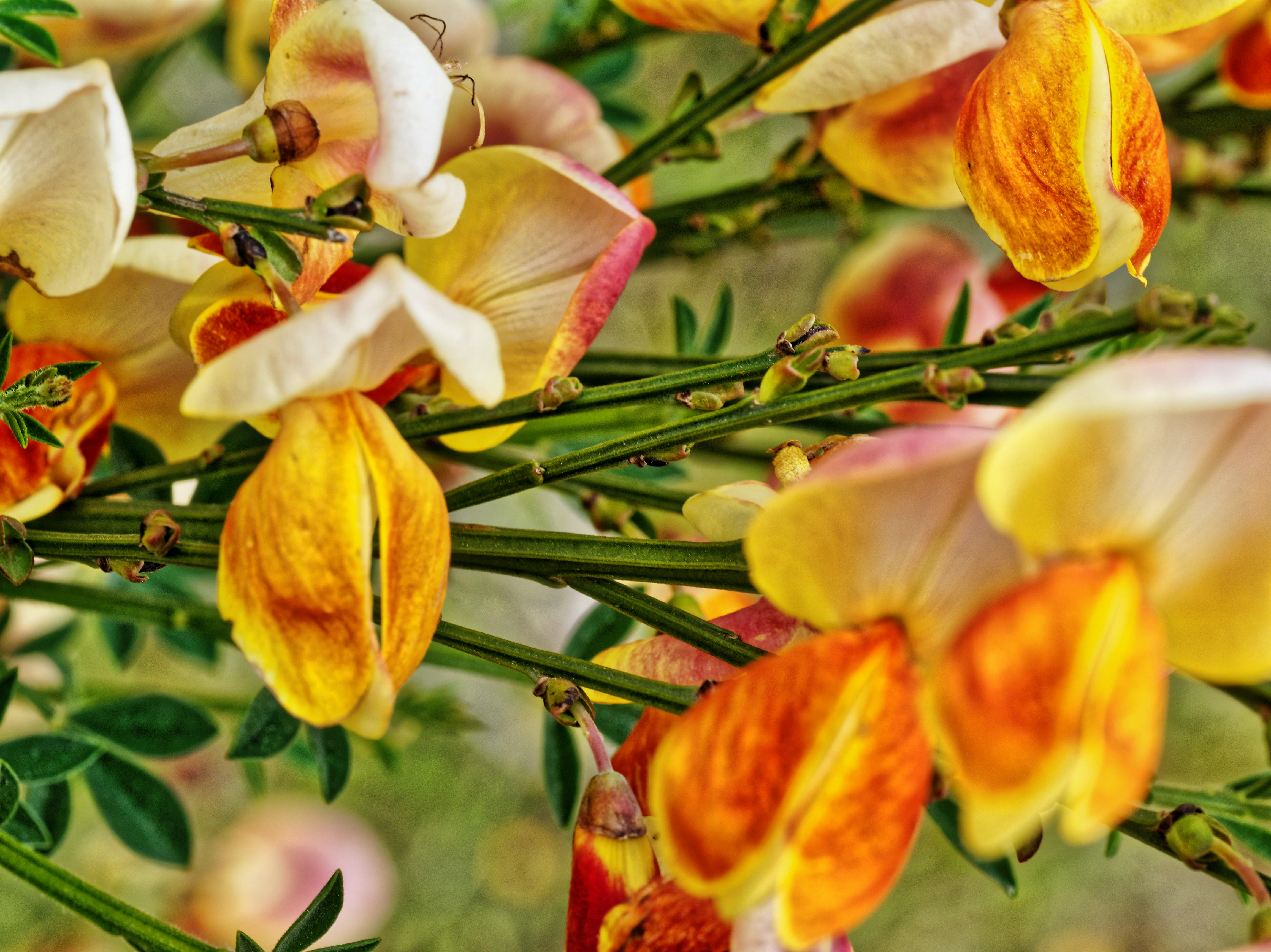 Cytisus-scoparius-2.jpeg