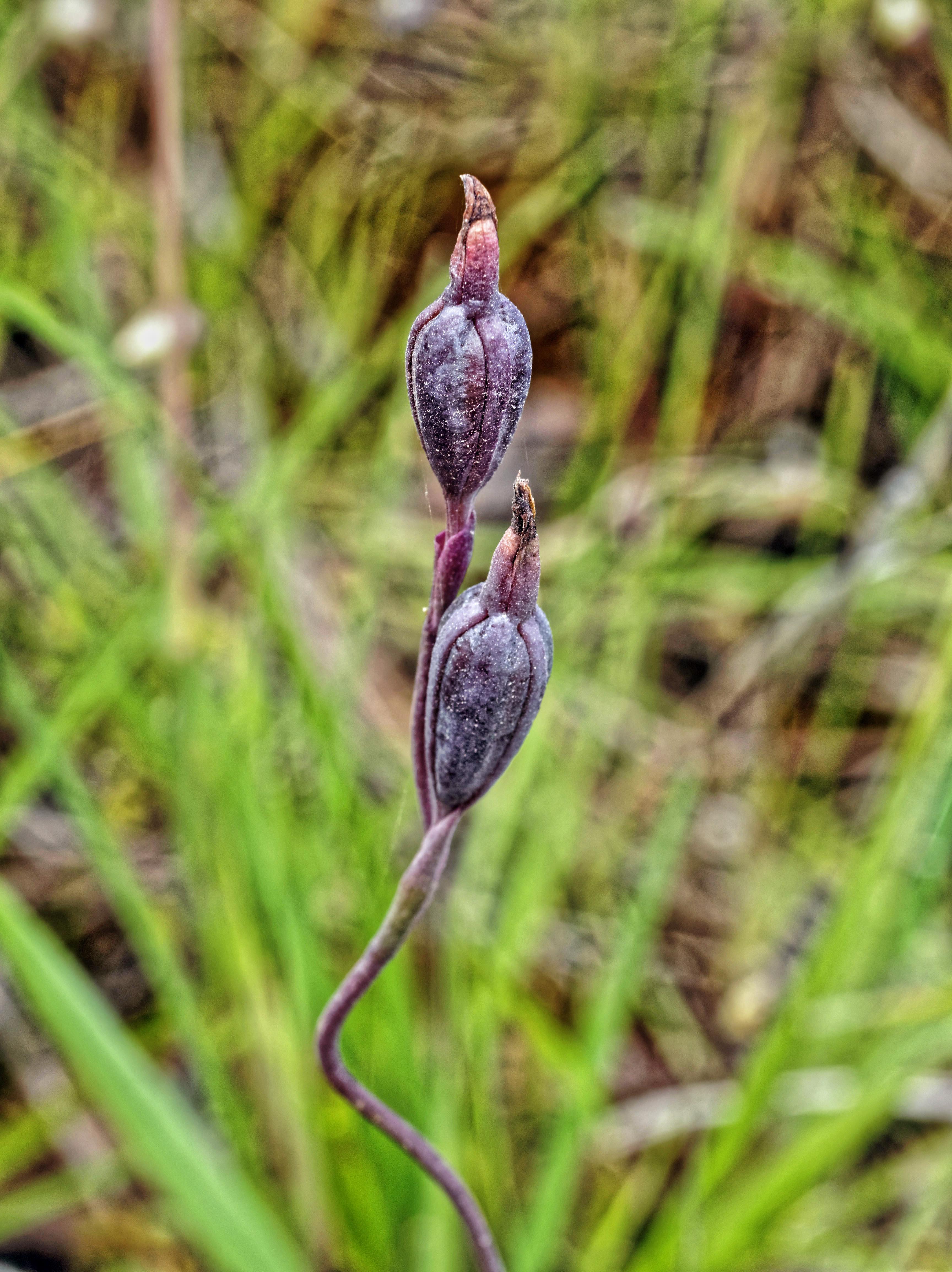 Thelymitra-pauciflora-1.jpeg