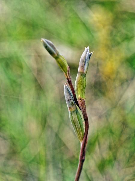 Thelymitra-pauciflora-3.jpeg