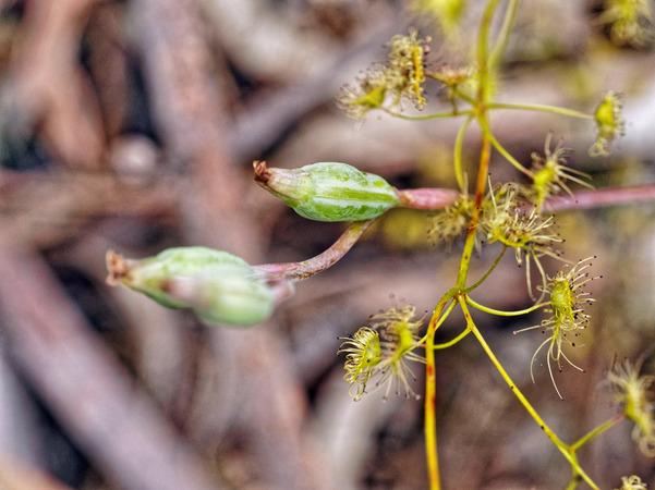 Thelymitra-pauciflora-6.jpeg