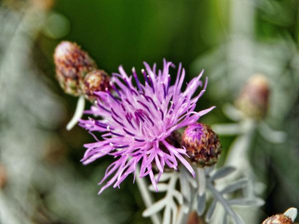 Artemisia-2.jpeg