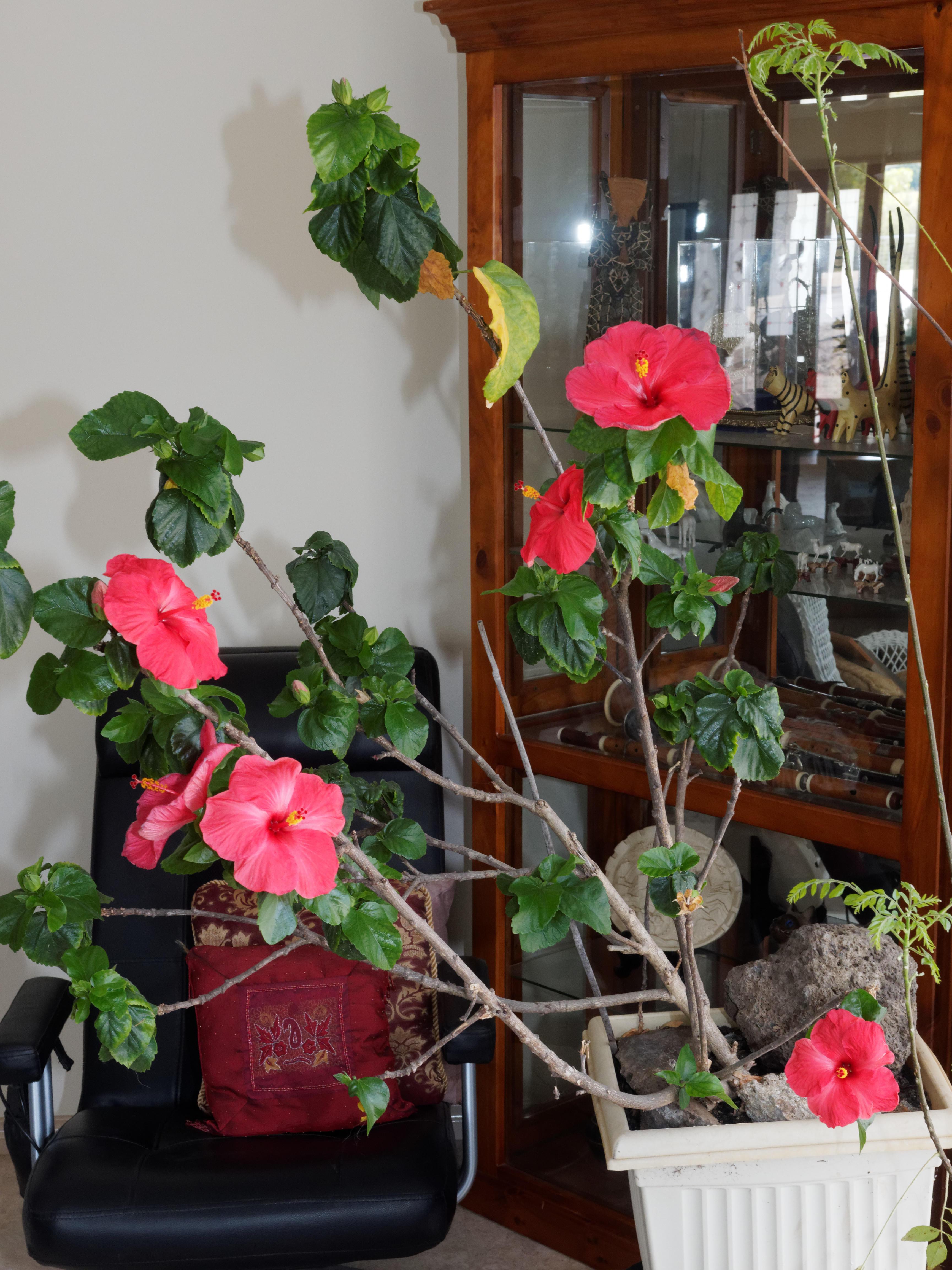Hibiscus-1-flash-0.jpeg