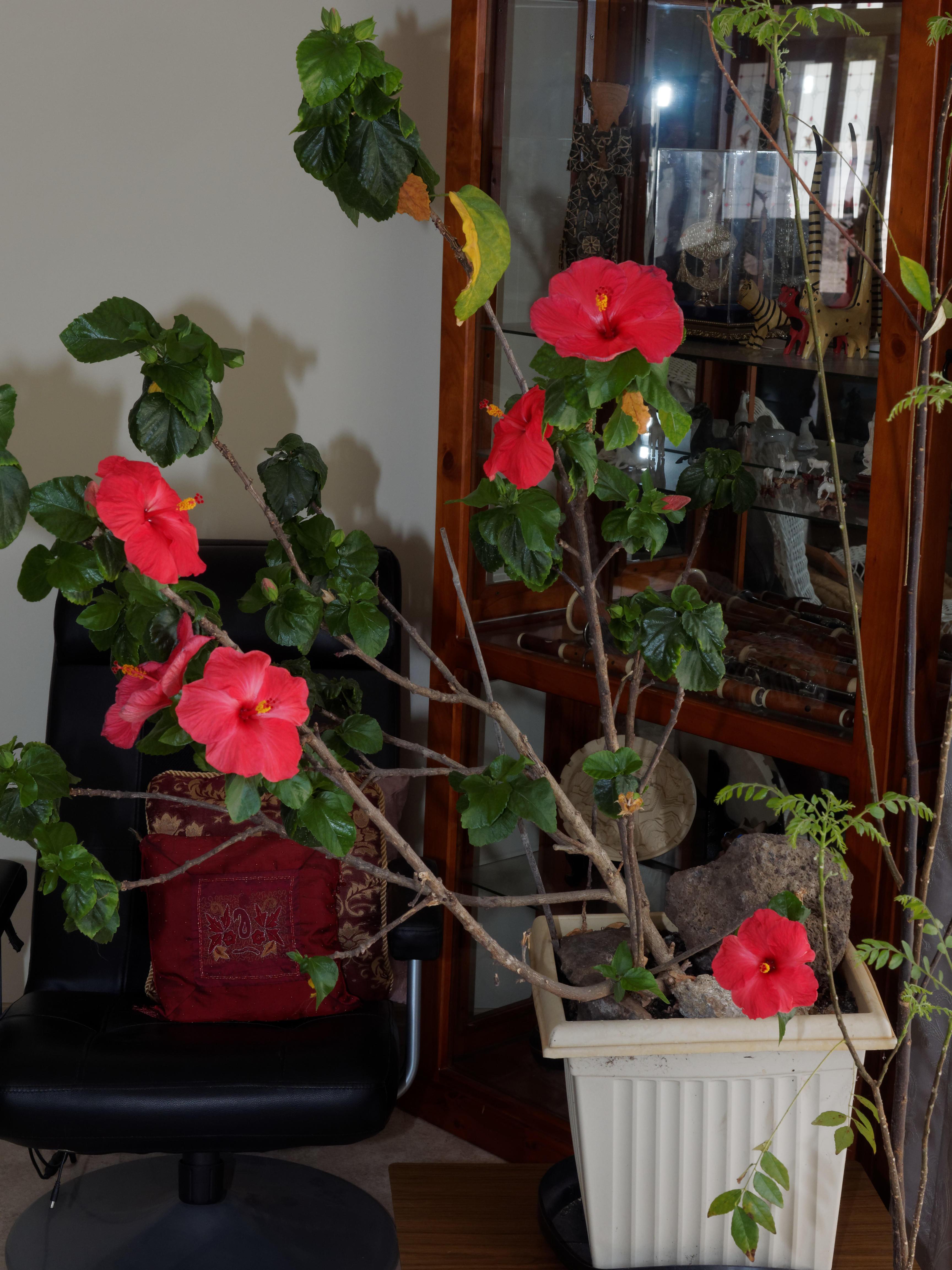 Hibiscus-1-flash-3.jpeg