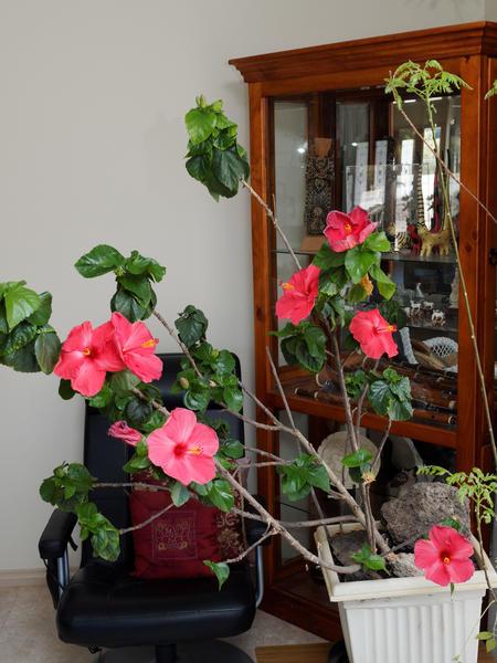 Hibiscus-bounce.jpeg
