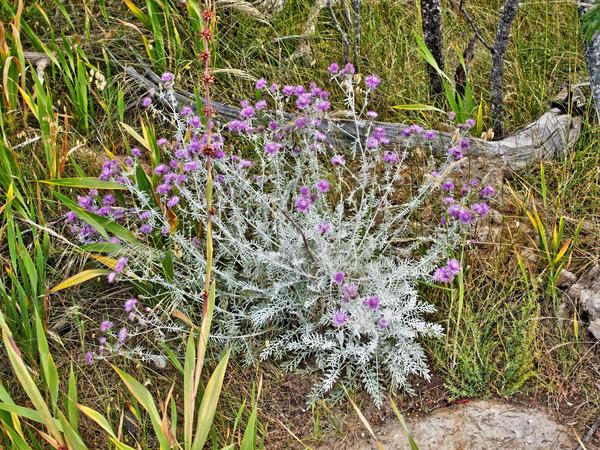 Artemisia-1.jpeg