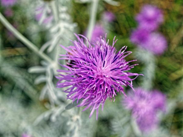 Artemisia-6.jpeg