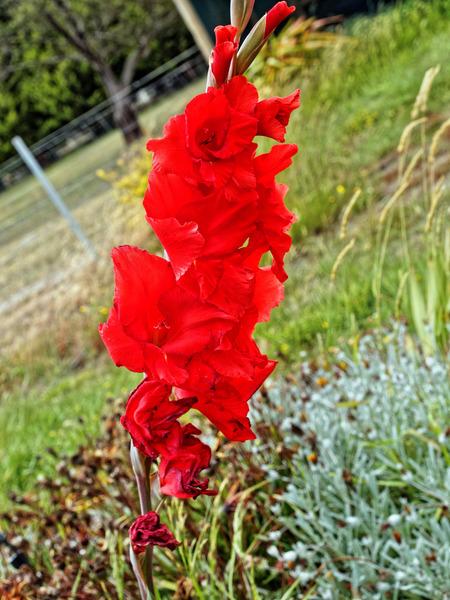 Gladiolus-2.jpeg