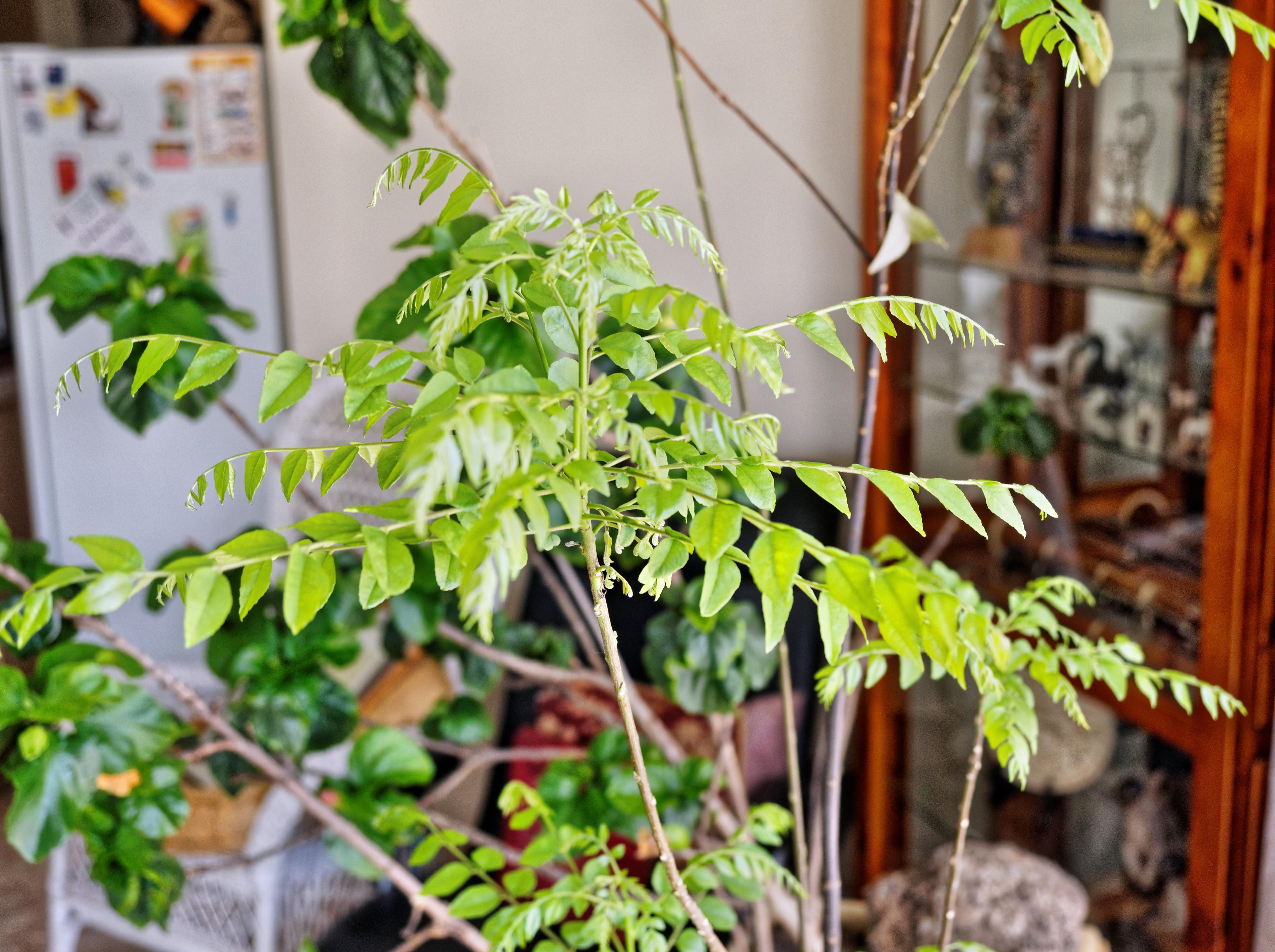 Curry-tree-2.jpeg