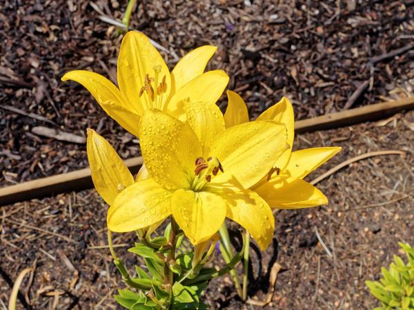 Lily-2.jpeg