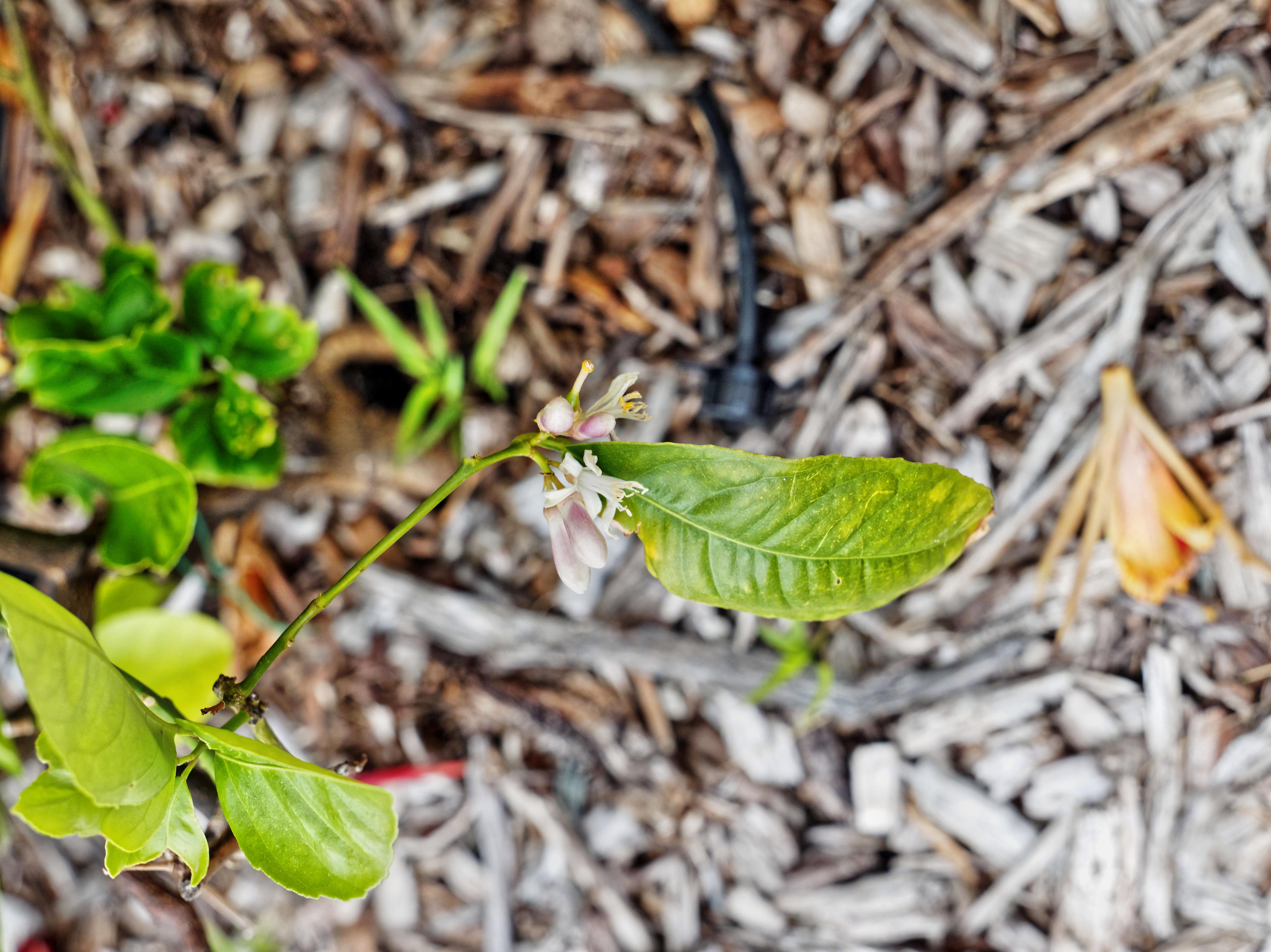 Lime-tree-3.jpeg