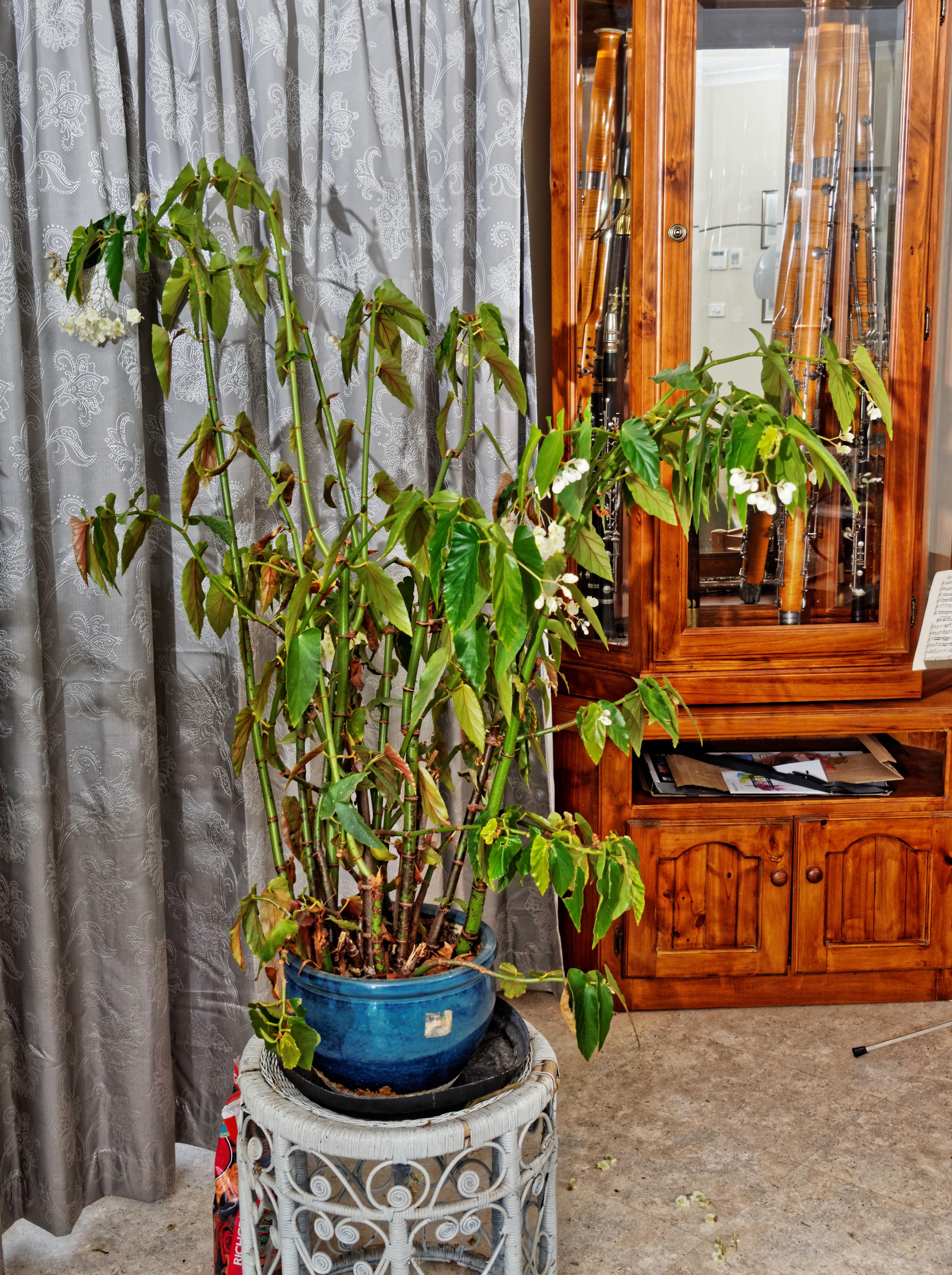 Begonia-5.jpeg