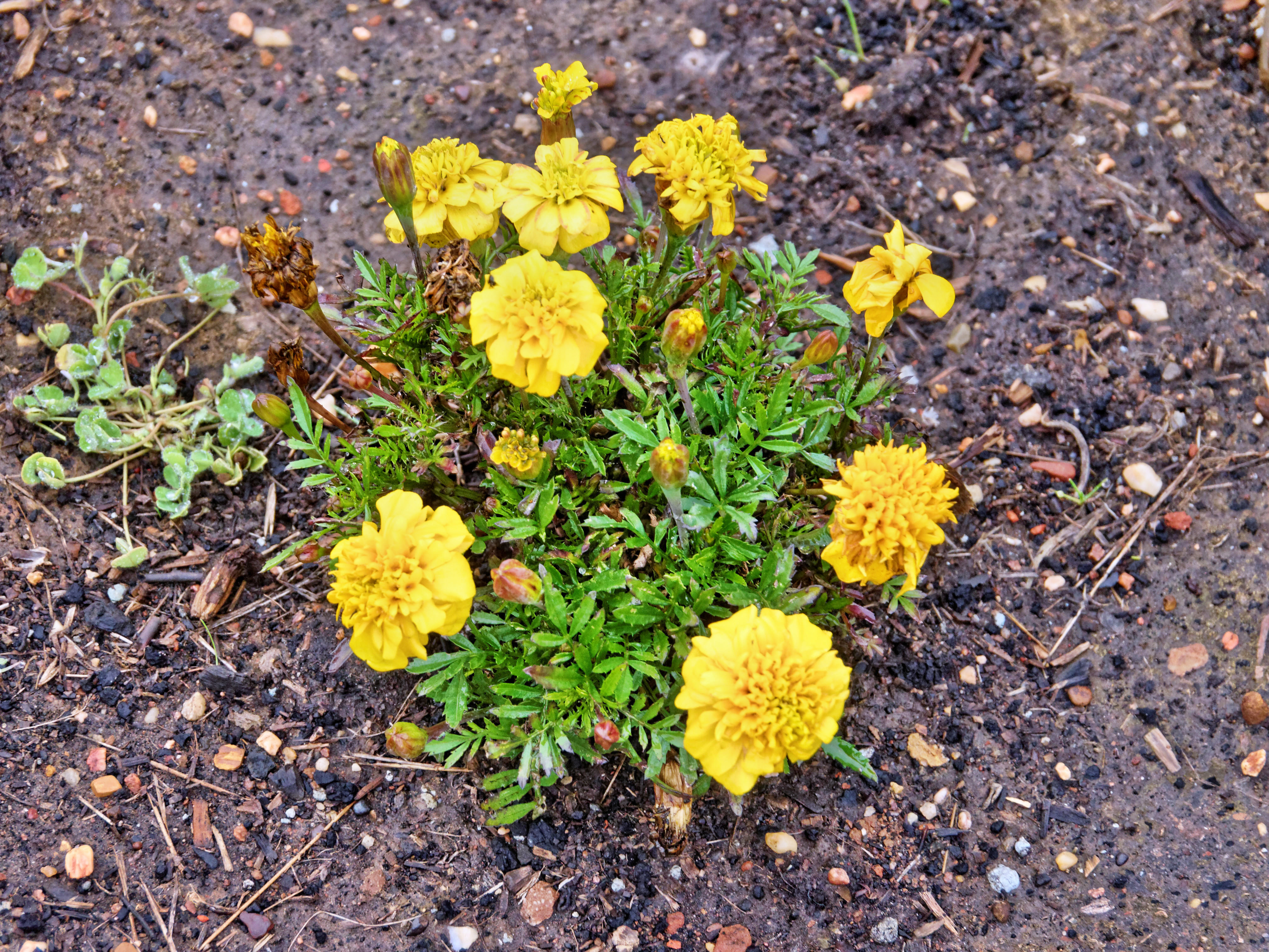 This should be Tagetes.jpeg.  Is it missing?