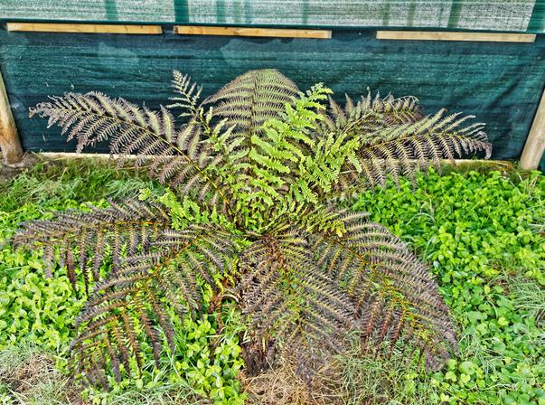 Tree-fern-1.jpeg