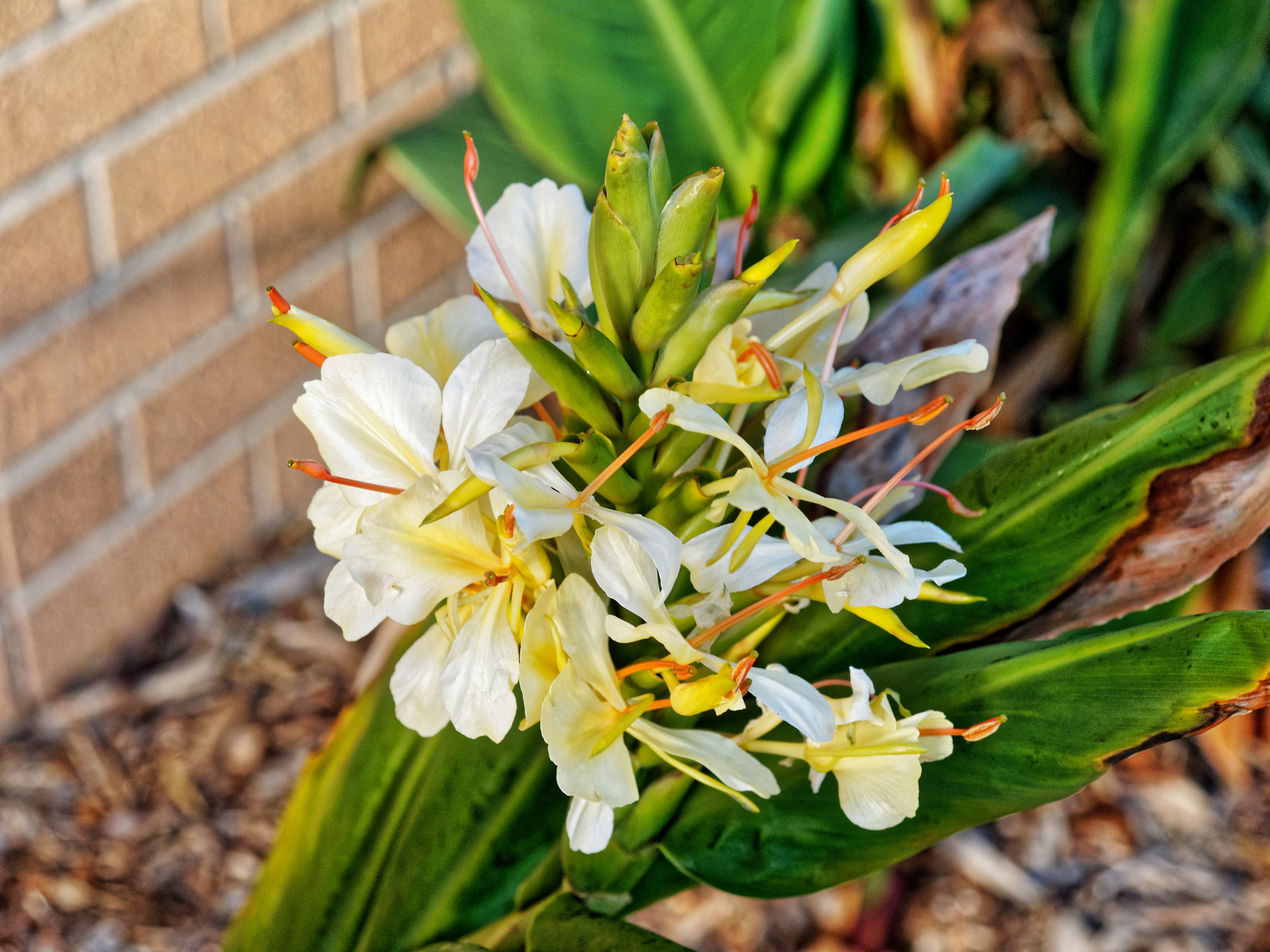 This should be Hedychium-5.jpeg.  Is it missing?