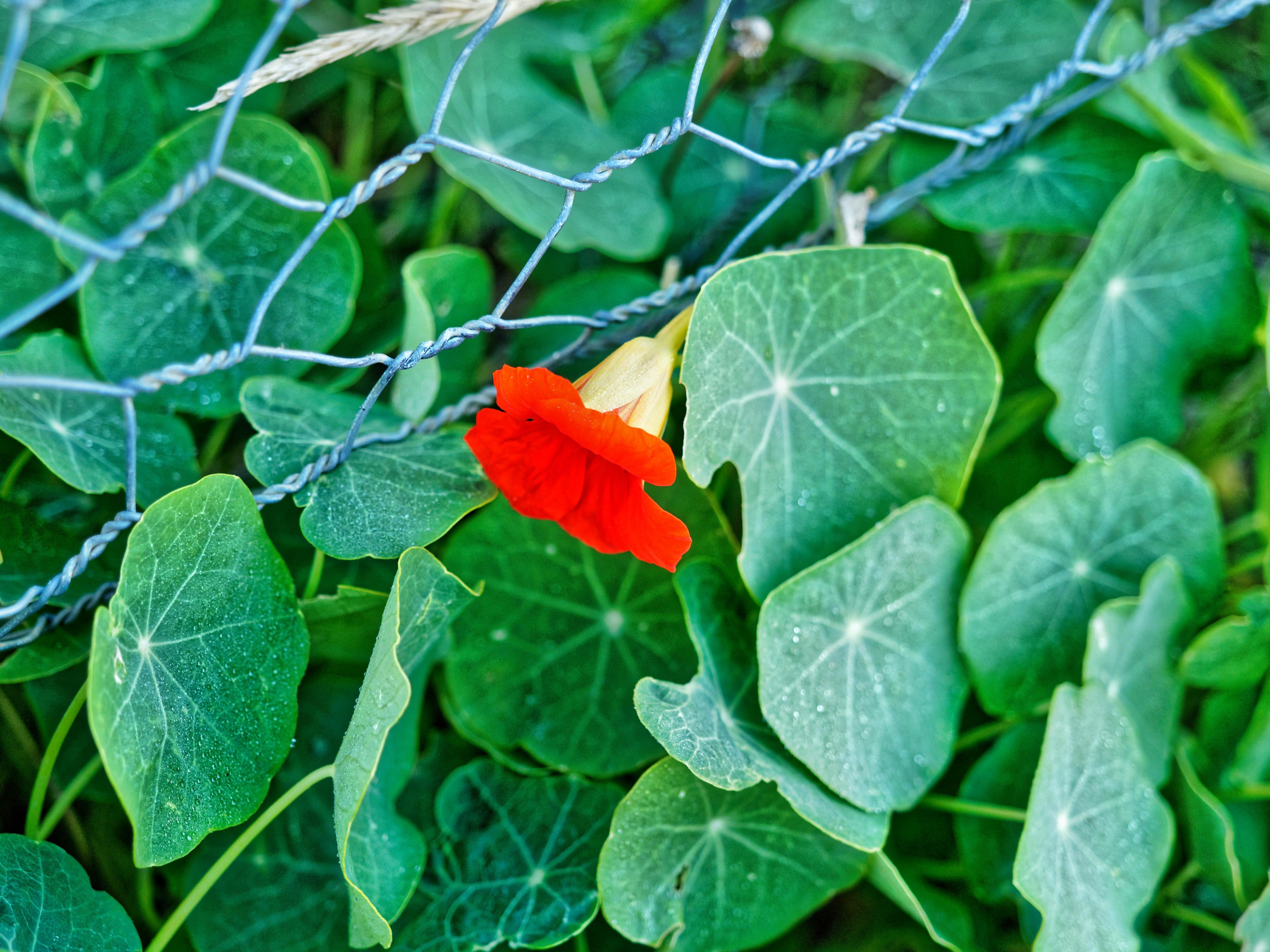 This should be Tropaeolum-2.jpeg.  Is it missing?