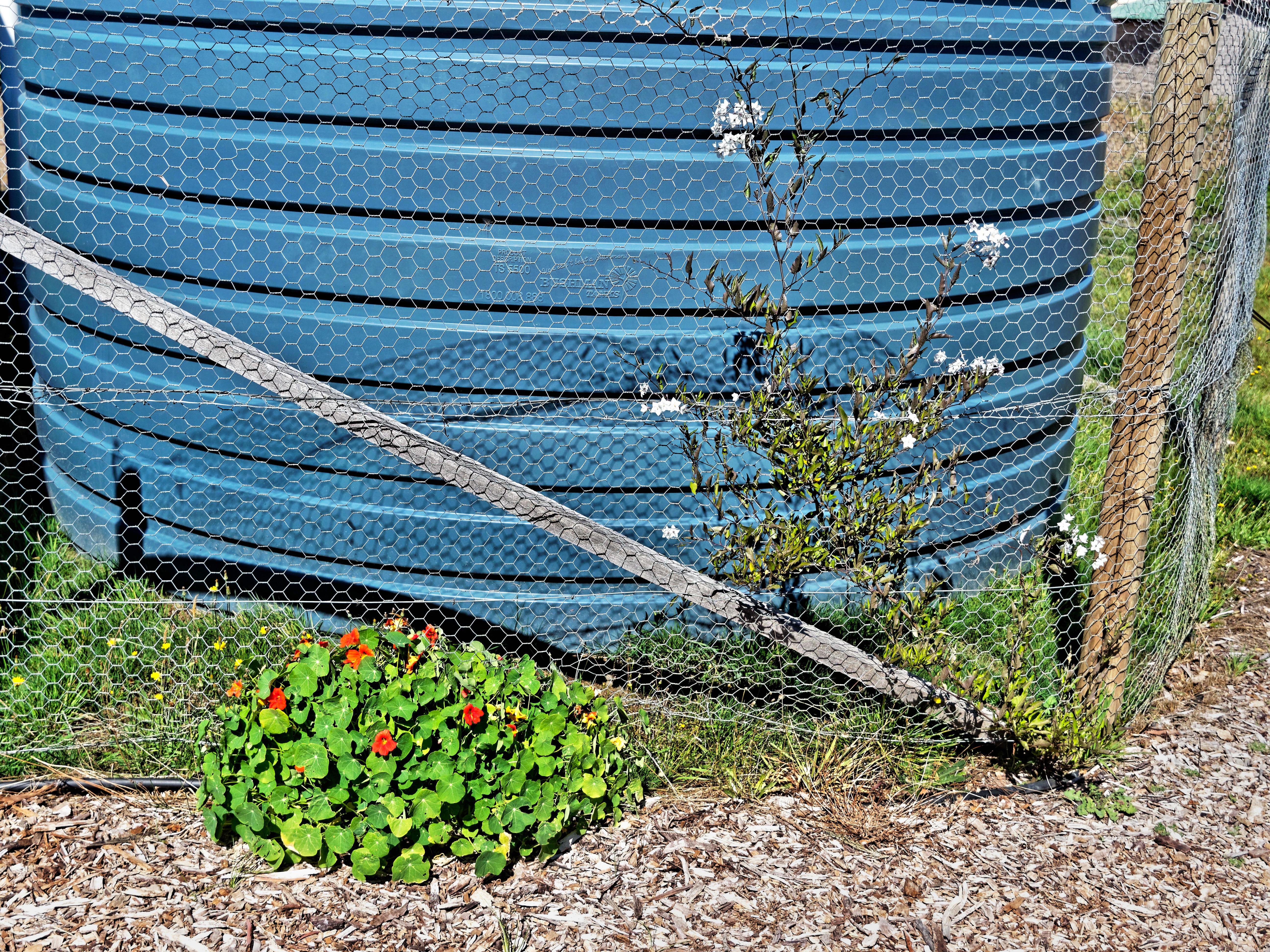 Tropaeolum-Solanum.jpeg