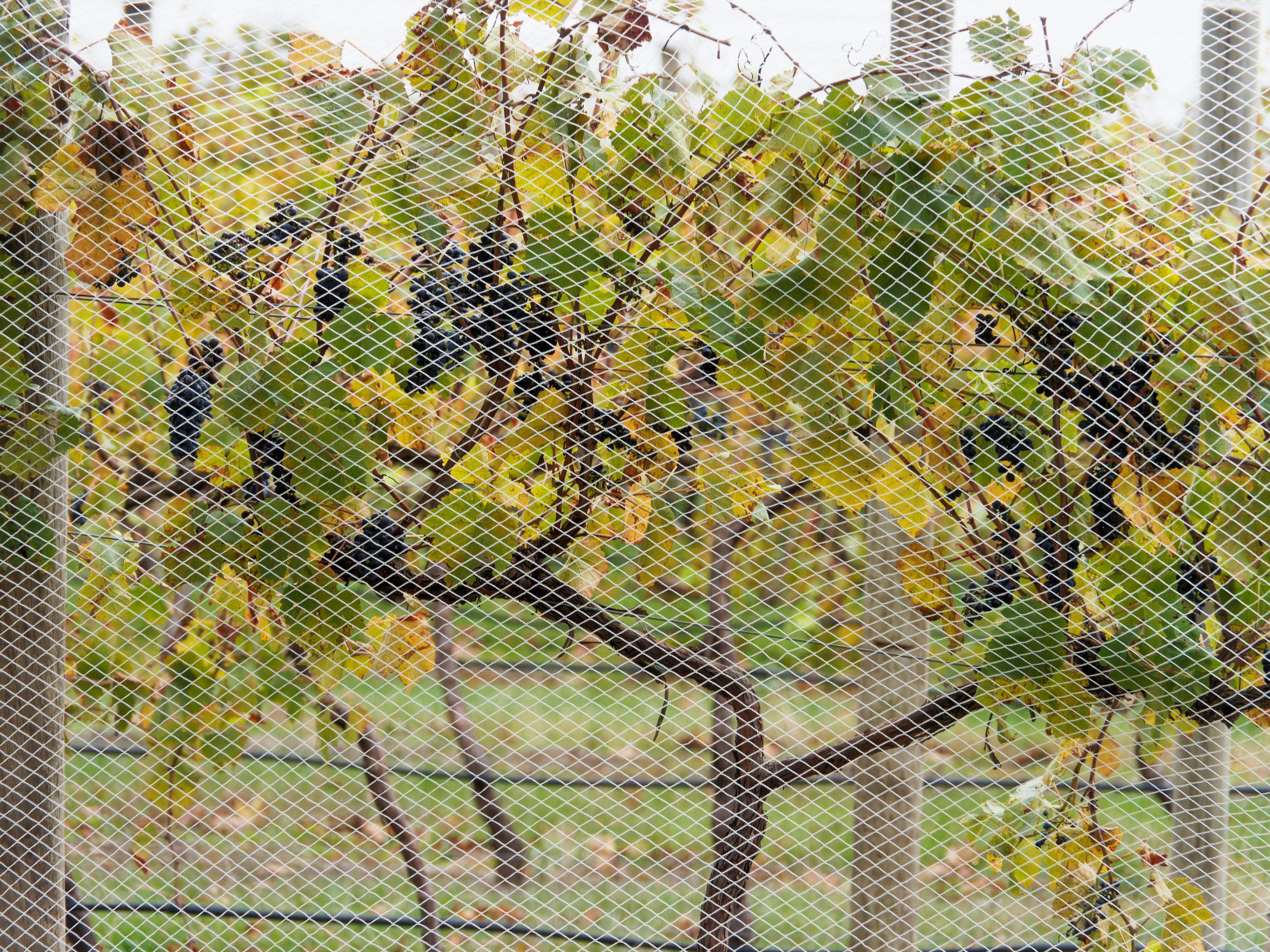 Vines-4.jpeg