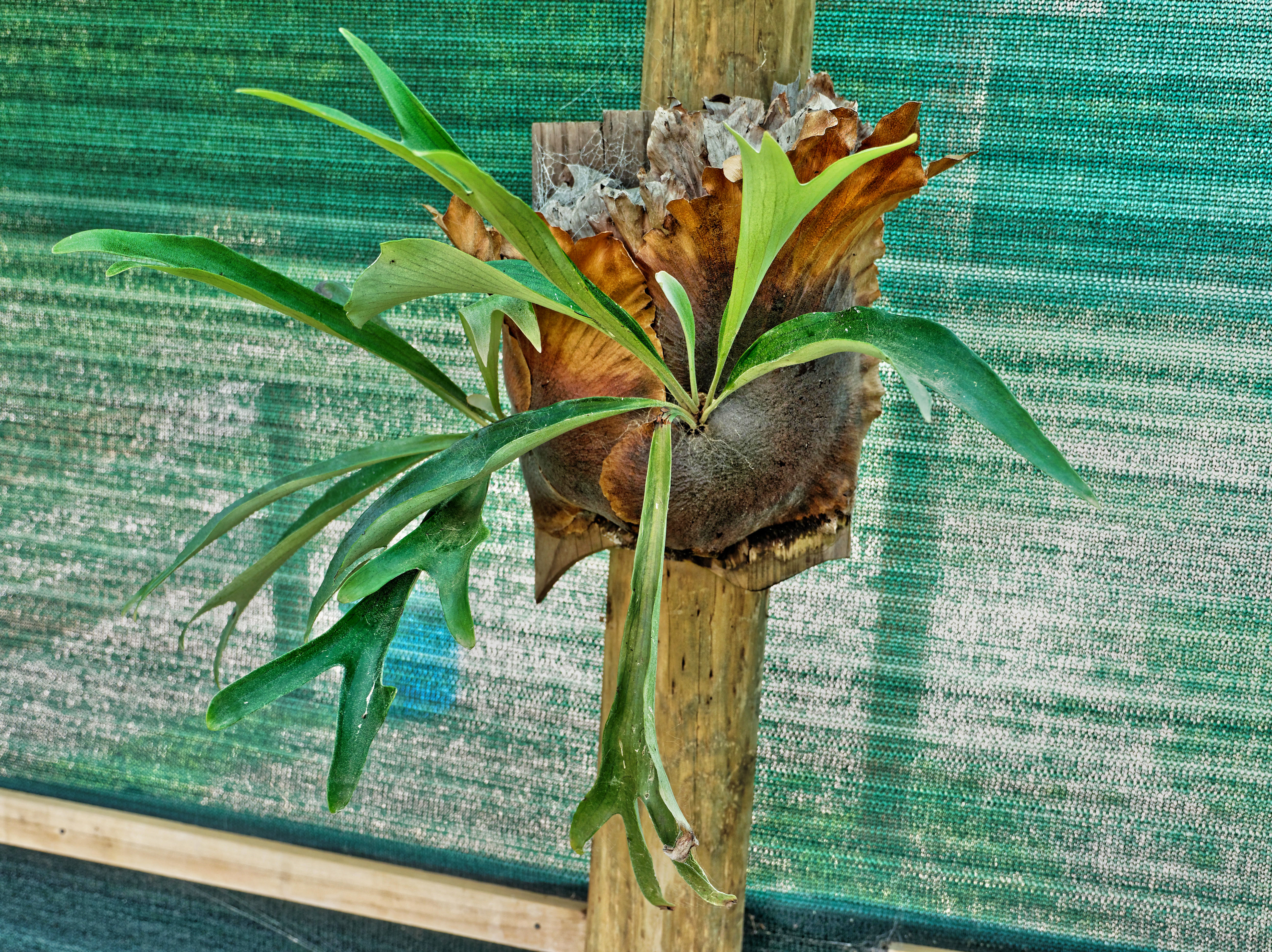Staghorn-fern-11.jpeg