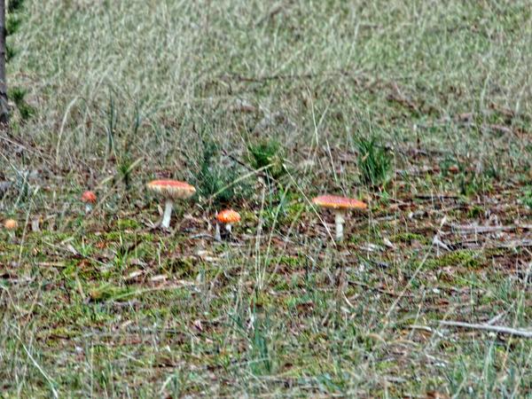 Amanita-muscaria-4.jpeg