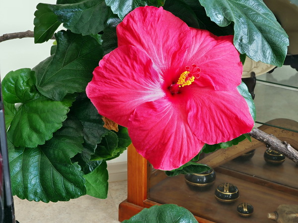 Hibiscus-6.jpeg