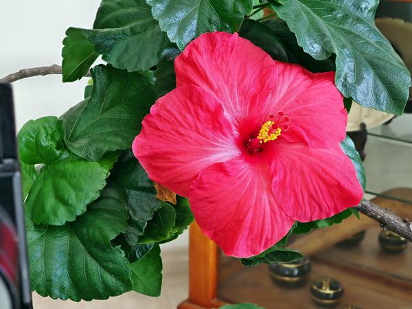 Hibiscus-7.jpeg