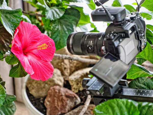 Hibiscus-photography-2.jpeg