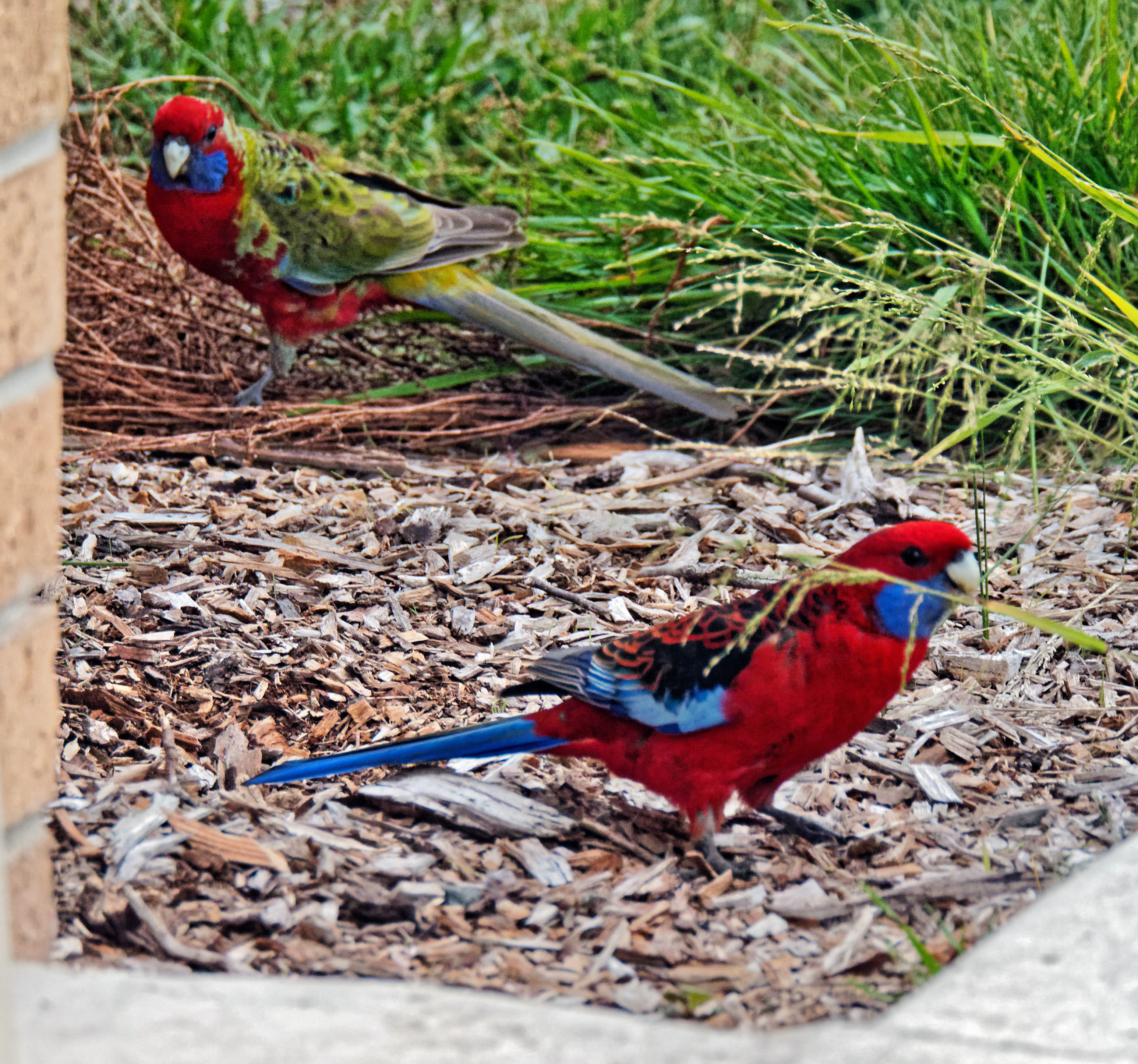This should be Rosella-1.jpeg.  Is it missing?