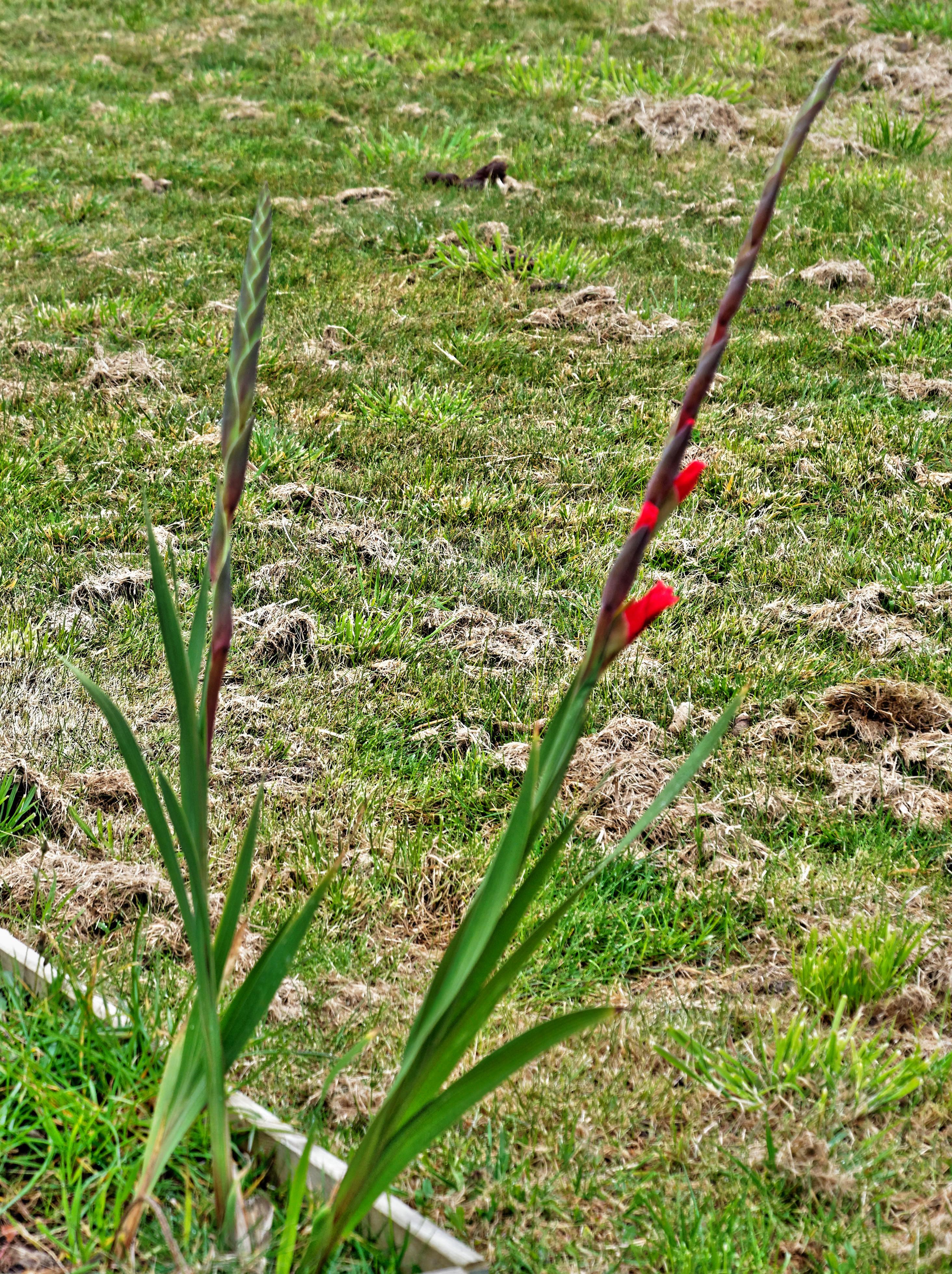 Gladiolus-1.jpeg