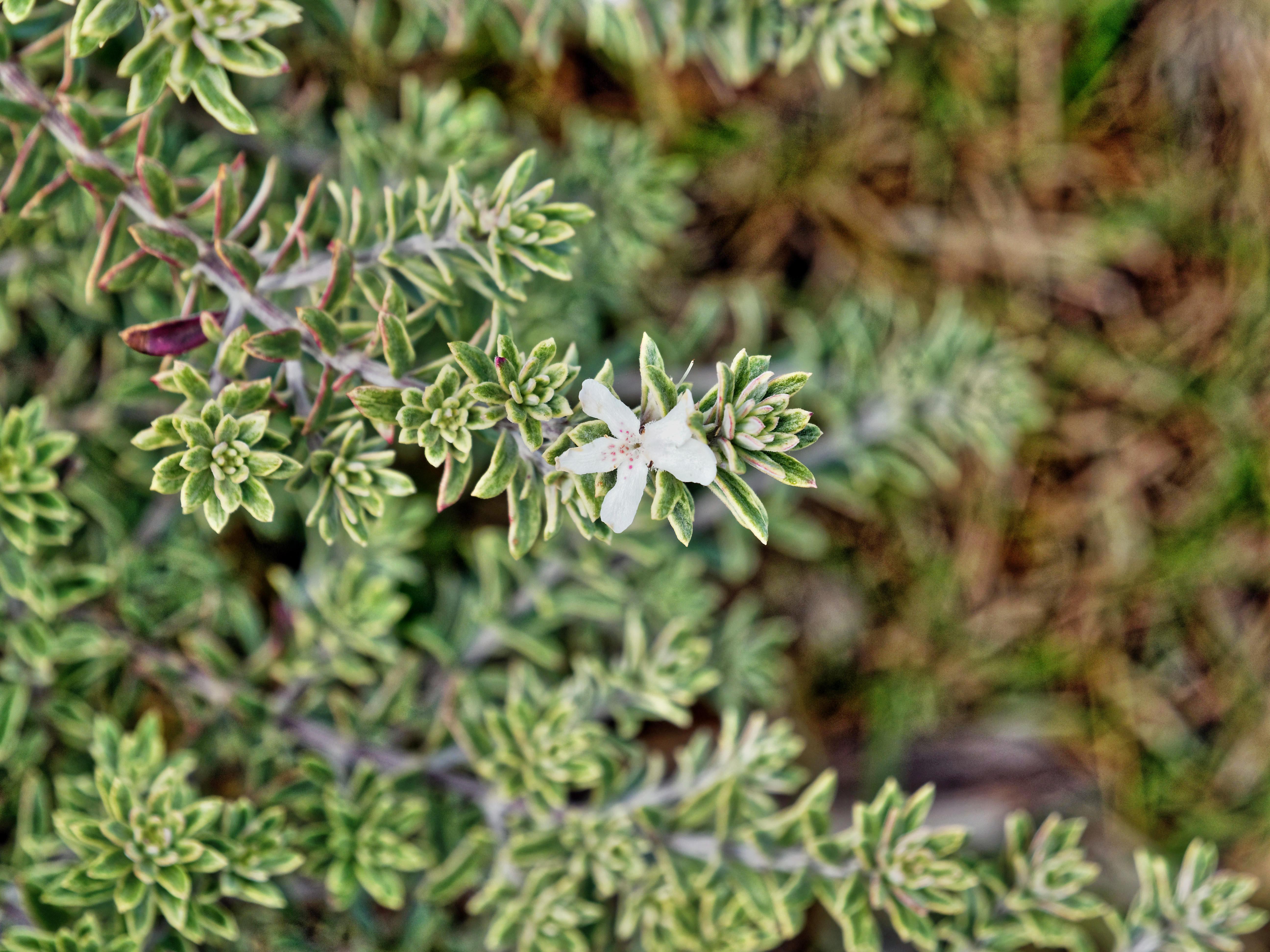 Westringia-fruticosa-2.jpeg