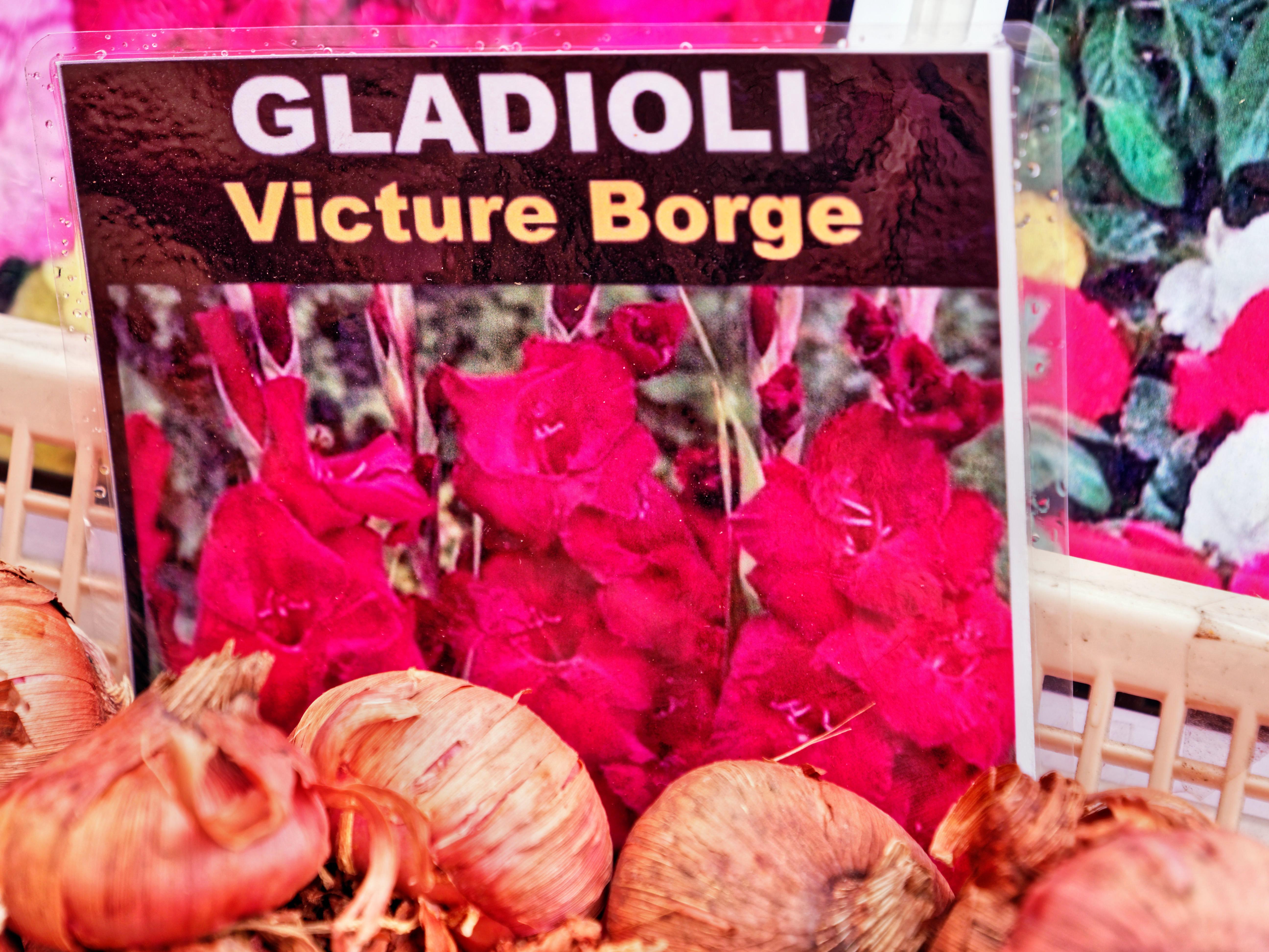Gladiolus-Victure-Borge.jpeg
