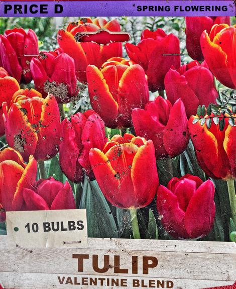 Tulip.jpeg