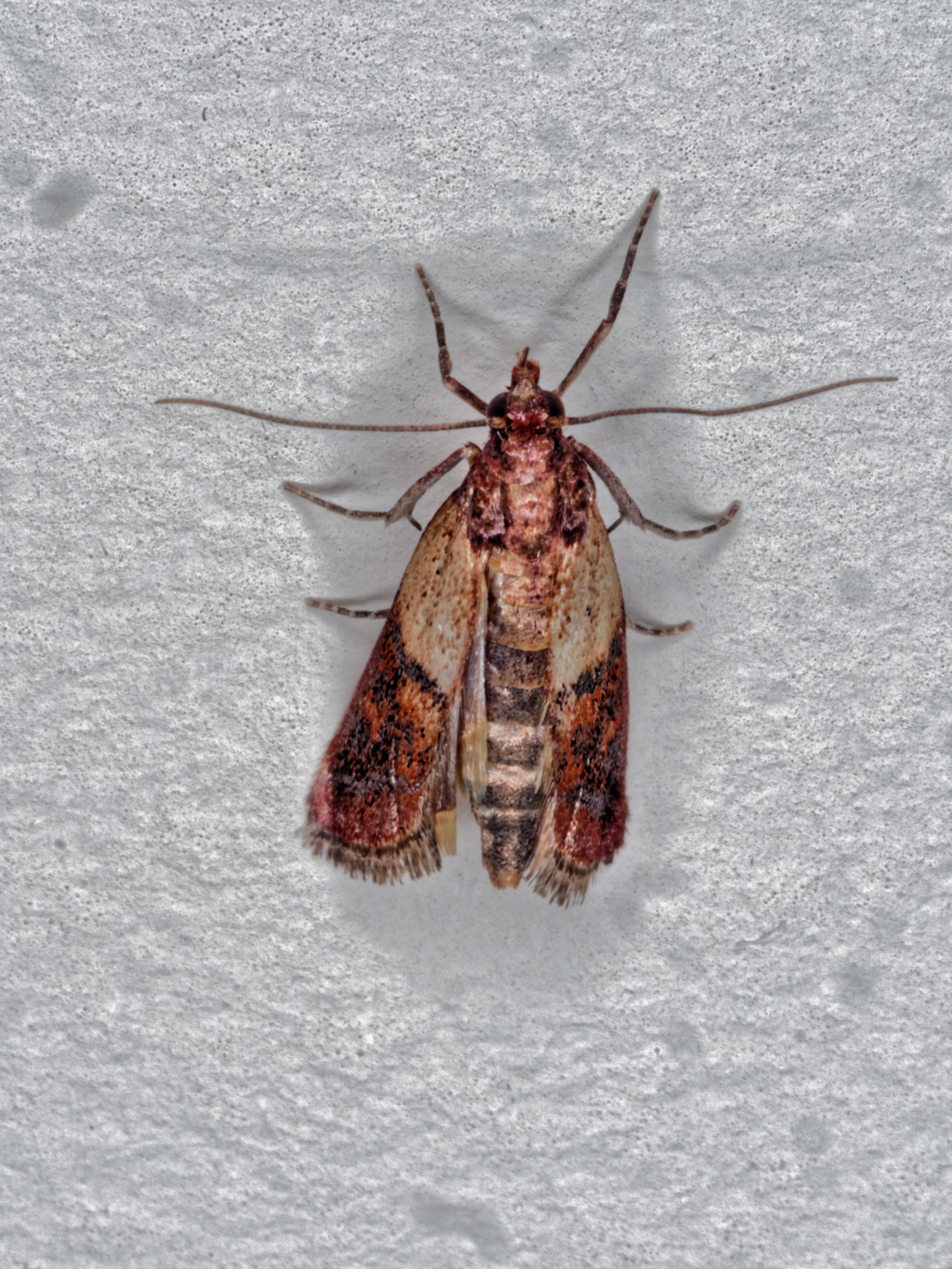 Indianmeal-moth-2.jpeg