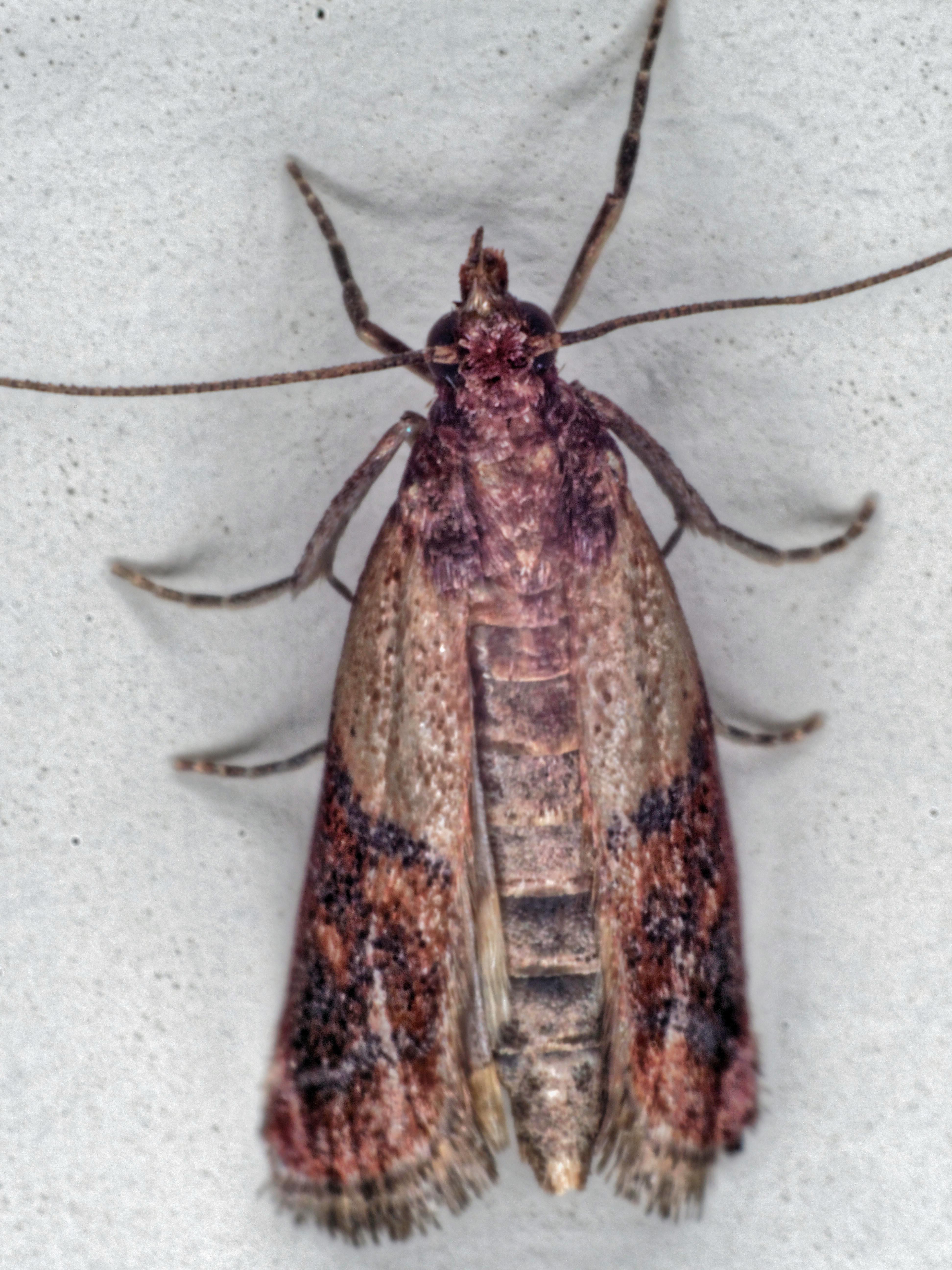 Indianmeal-moth-4.jpeg