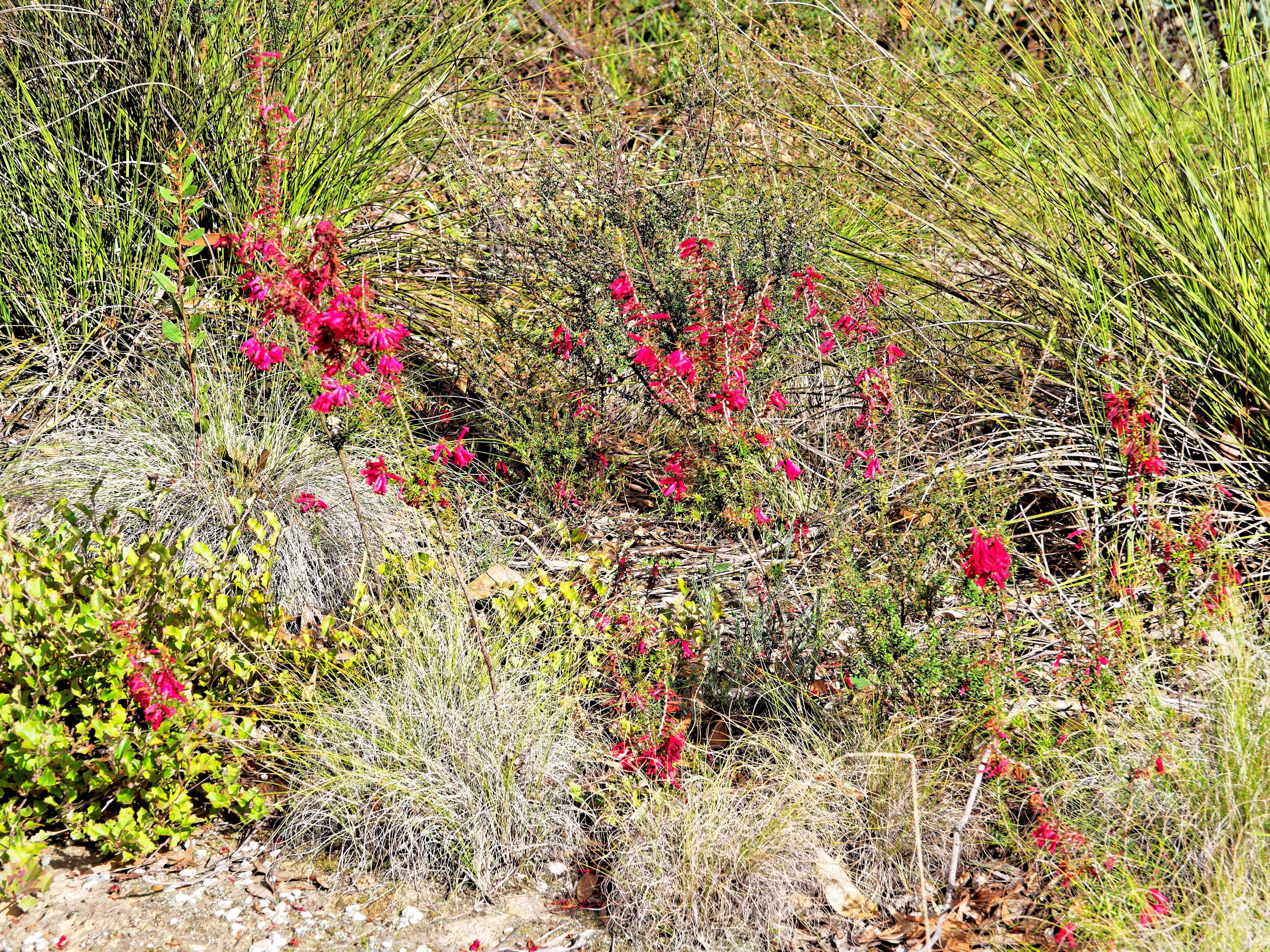 This should be Epacris-impressa-4.jpeg.  Is it missing?