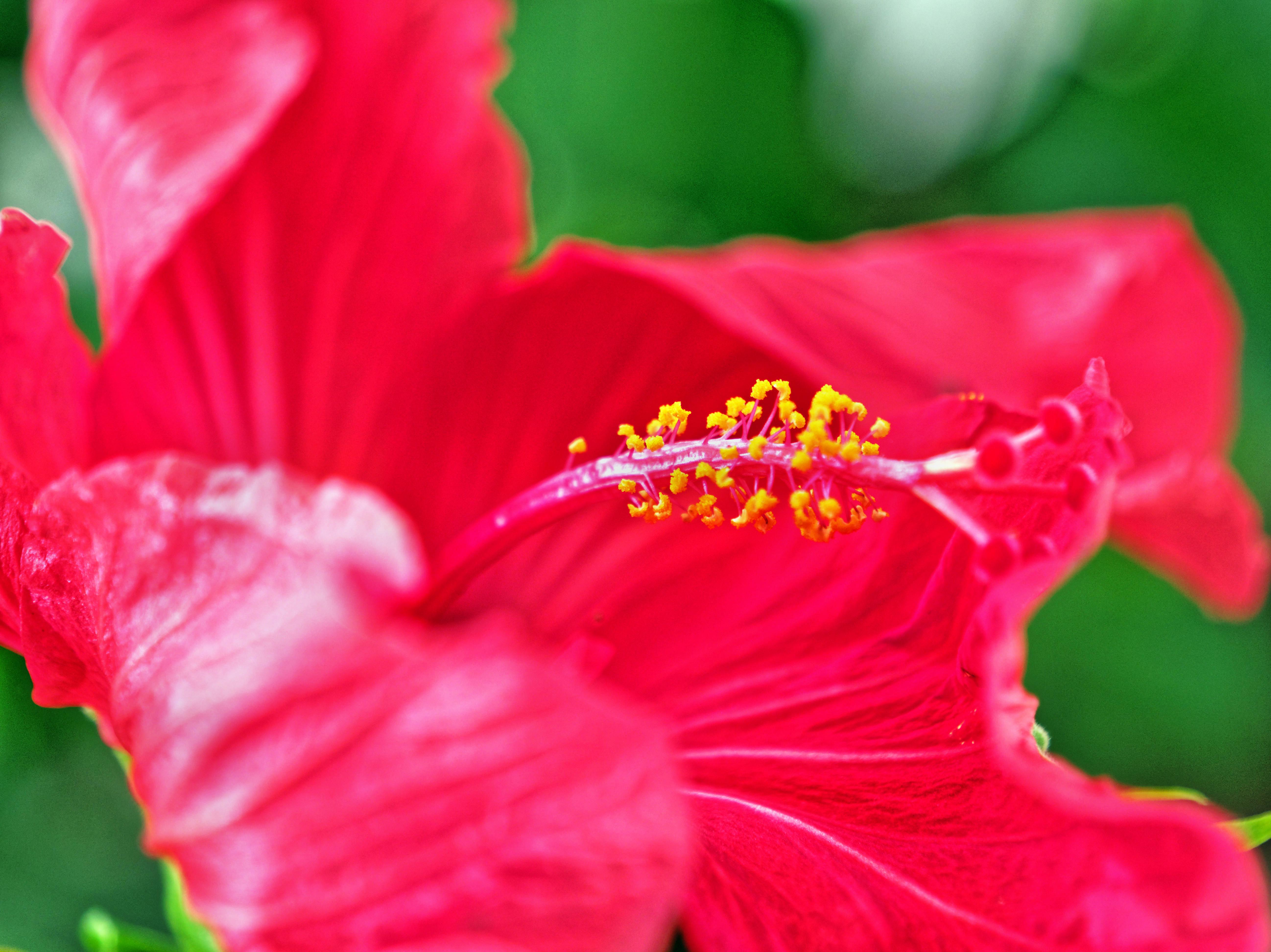 Hibiscus-10.jpeg