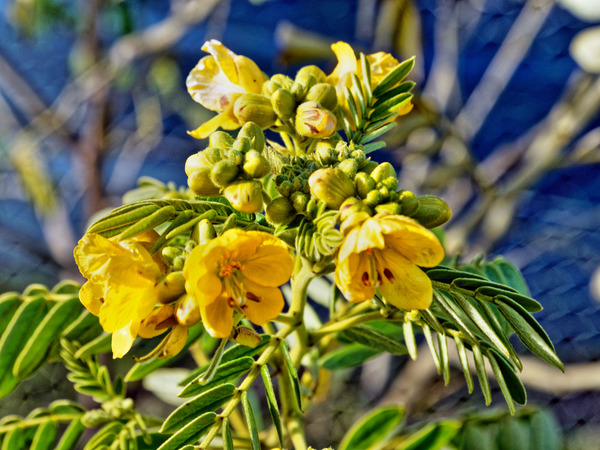 Senna-aciphylla-1.jpeg