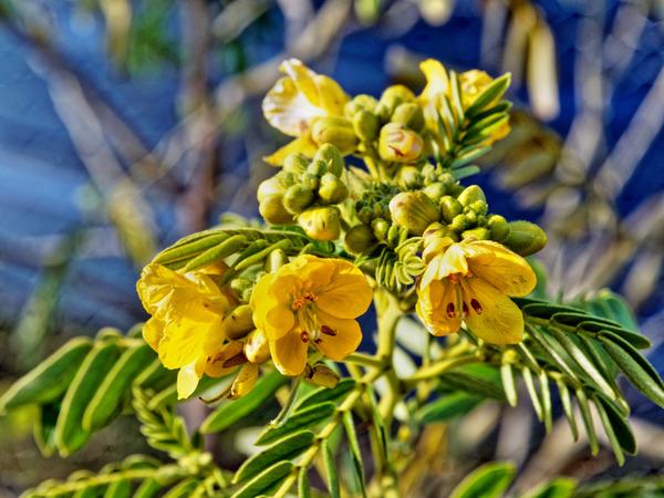 Senna-aciphylla-2.jpeg